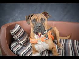 american bulldog x belgian malinois american bulldog breed video funnydog tv