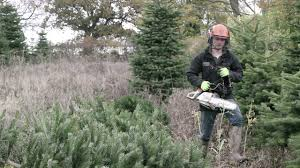 littledown christmas tree farm cutting of the trees youtube