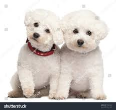 bichon frise 7 weeks old bichon frise 9 7 years old stock photo 79923094 shutterstock