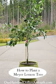 container gardening how to plant a meyer lemon tree one
