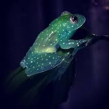 best 25 glass frog ideas on transparent frog