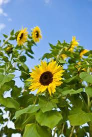 do sunflower seeds cause pimples livestrong com