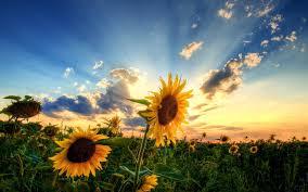 Pretty Plants by Flowers Sunflower Flower Sun Sunlight Pretty Clouds Amazing Nice