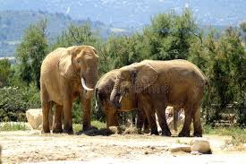 family of elephants at segean zoo stock image image of