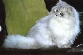 gatti persiani bianchi zoomania cani e gatti torre annunziata