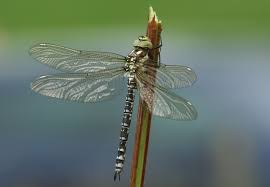 commons featured pictures animals arthropods odonata wikimedia