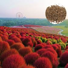 600pcs seeds grass burning bush kochia scoparia