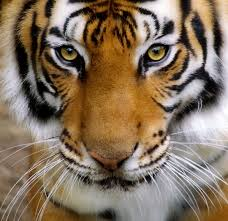speak clearly through the eye of a tiger speak easy