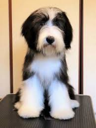 bearded collie mdr1 settembre 2017 u2013 allevamento gremontree italy bearded collies