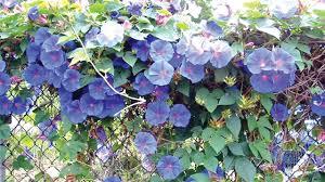 Morning Glory Climbing Plant - morning glories moonflowers and relatives u2014 saturday magazine