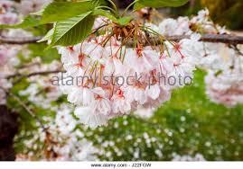 ornamental cherry tree in blossom stock photos ornamental cherry