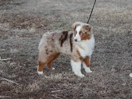 australian shepherd gray hillside kennels lindy mayes hillside blog