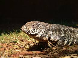 Seeking Lizard Episode Tegu Lizard Increases Its Own Temperature When Looking For