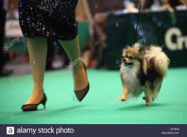 affenpinscher crufts 2016 dog kennel uk stock photos u0026 dog kennel uk stock images alamy