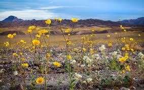 Flowers Anza Borrego California U0027s Winter Rains Could Mean Great Desert Wildflowers
