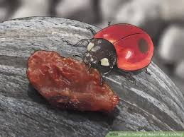How To Find Ladybugs In Your Backyard 3 Ways To Design A Habitat For A Ladybird Wikihow