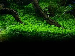 Plants For Aquascaping Foreground Aqua Rebell