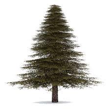 fir tree png image png mart