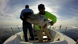 cape cod bay holds bluefish in october youtube