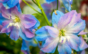delphinium tag wallpapers delphinium beautiful flower
