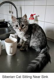 Cat Sitting Meme - your task is siberian cat sitting near sink cat meme on esmemes com