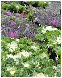90 best ornamental cabbage kale images on ornamental