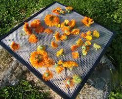 Nice Flowers Calendula How To Make Teas Washes Oils And Salves Natural