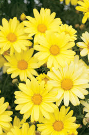 Daisy The Flower - 25 best ideas about yellow daisies on pinterest yellow flowers