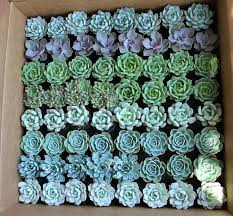 bulk wedding favors wedding favors in bulk assorted succulents succulent wedding