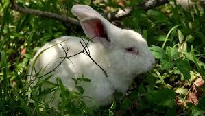 backyard free range rabbits youtube