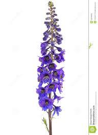 delphinium flowers delphinium flower stock image image of blooming floral 25649693