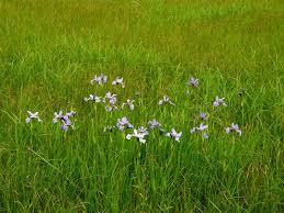 Iris Flag 200406171601 Blue Flag Iris Versicolor Manitoulin