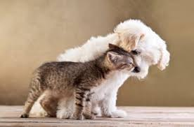 bichon frise and cats dog breeds for cats bichon frise