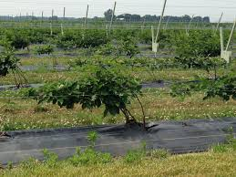 trellis growing systems rca trellis system