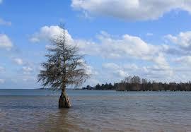 file cypress tree lake marion indian bluff park eutawville