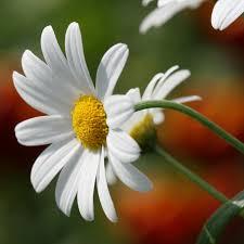 Daisy The Flower - daisy flowerhits