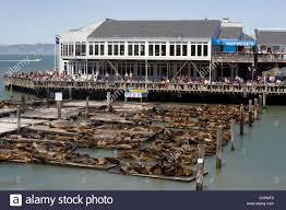 Fisherman S Wharf San Francisco Usa Sea Lions At Pier 39 Fisherman U0027s Wharf Stock