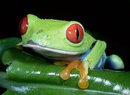agalychnis callidryas eyed treefrog