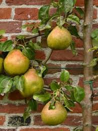 growing pears organic gardening pear trees planting and pear