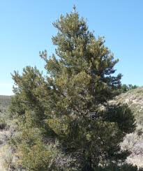 plants native to arizona pinyon pine attracts quail for the pine nuts plant in