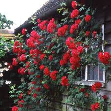 paul u0027s scarlet climber shop all roses type