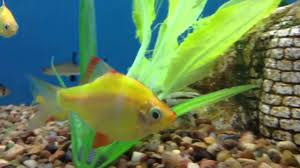 Freshwater Fish Fresh Water Fish At Petsmart Youtube