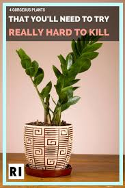 indoor plants that need little light the 25 best indoor fig trees ideas on pinterest fiddle fig tree