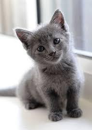 gray gray and gray best 25 gray kitten ideas on pinterest kittens adorable
