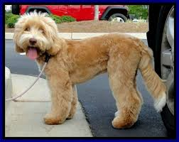 doodle doo labradoodles southern charm labradoodles american and australian labradoodle
