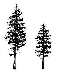 fir tree evergreen tree pencil and in color fir tree
