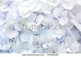 light blue hydrangea flowers stock photo 35796736 shutterstock