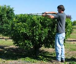 Shade Tree For Small Backyard - backyard orchard culture dave wilson nursery