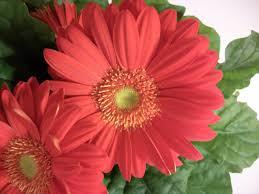writing straight from the heart gerbera daisy