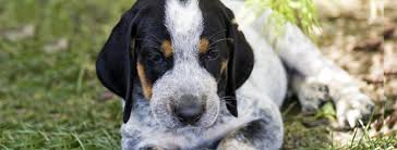bluetick coonhound dander dog lovers blog page 17 of 39 pet paw